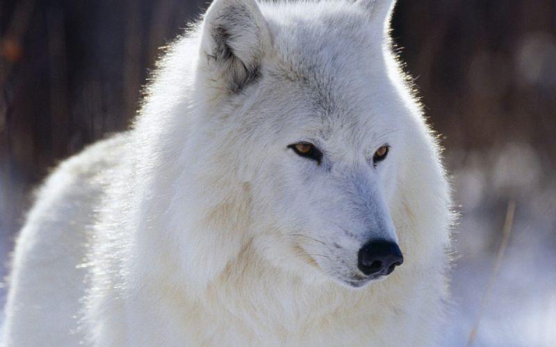 lobo artico blanco animales wallpaper