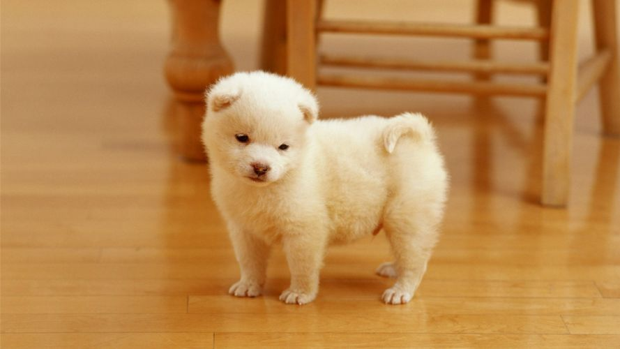 animal cute dog white wallpaper