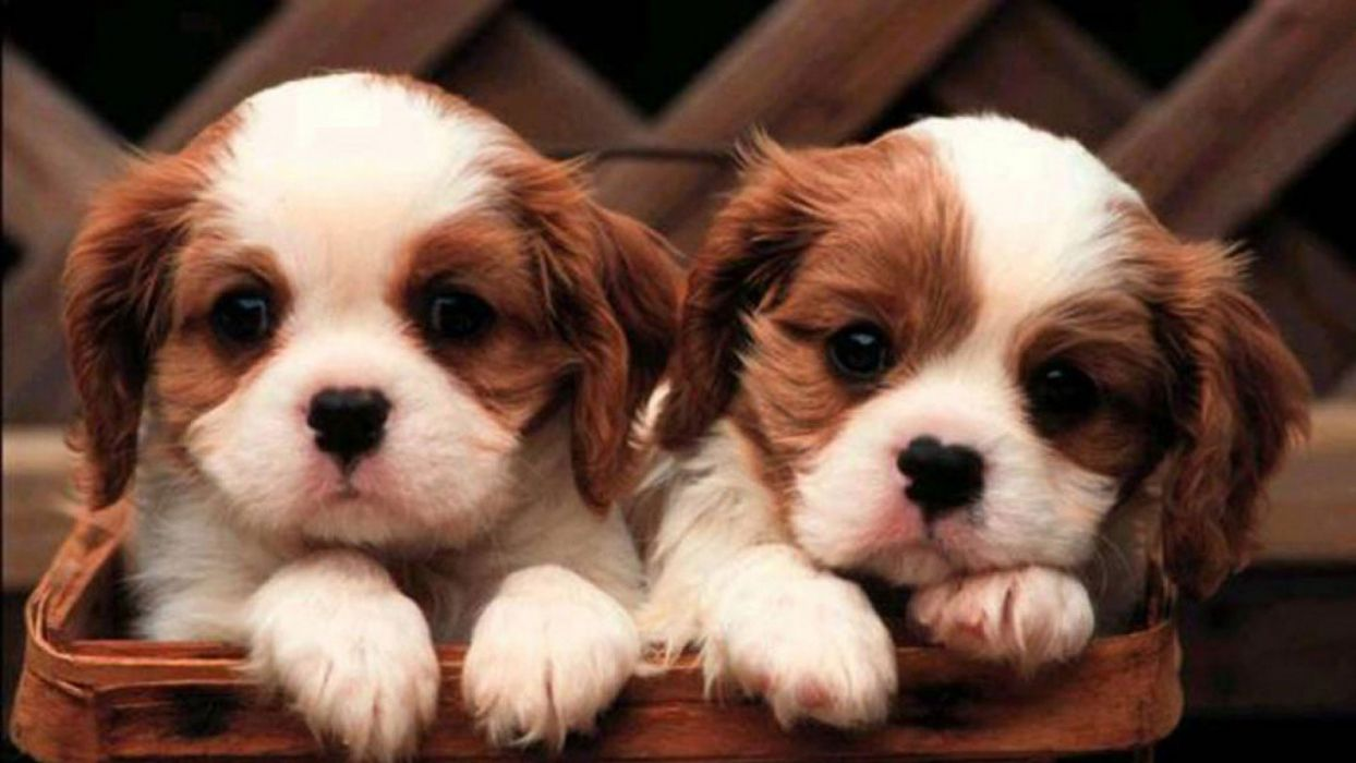cute puppies animal dog wallpaper