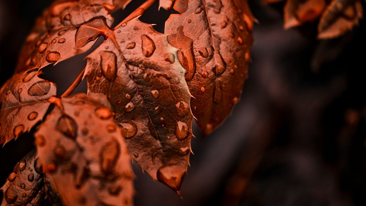 Beautiful Tree Red Leave nature After Rain wallpaper