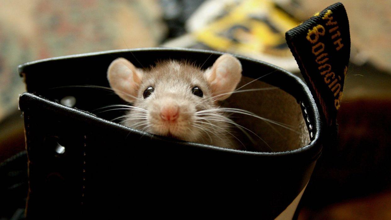 raton bota roedor animales wallpaper