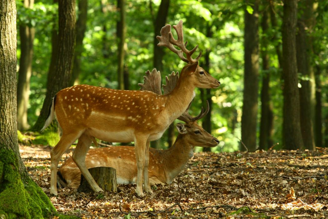 forest trees nature landscape tree deer wallpaper