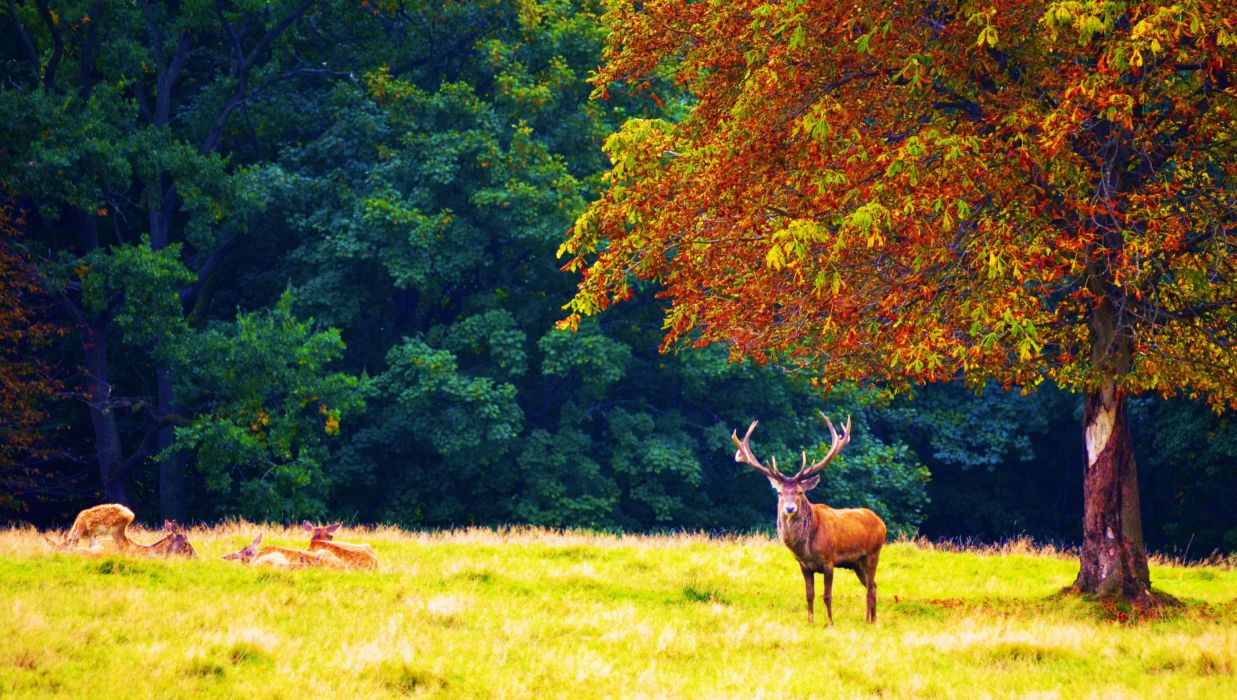 forest trees nature landscape tree autumn deer wallpaper