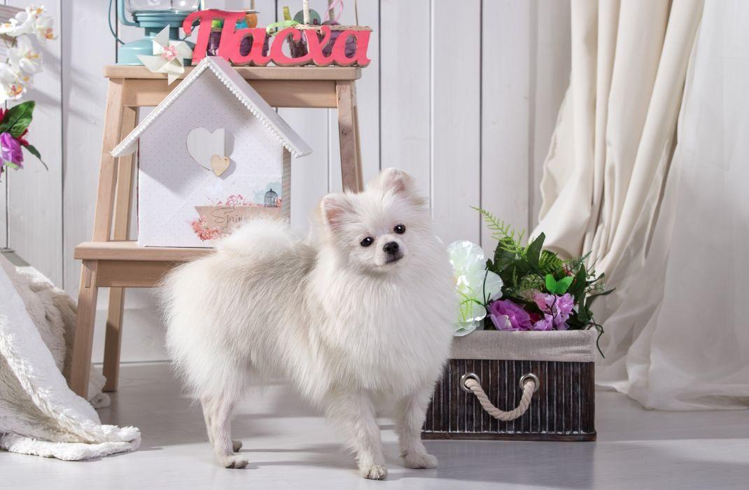 Dogs White Spitz Animal wallpaper