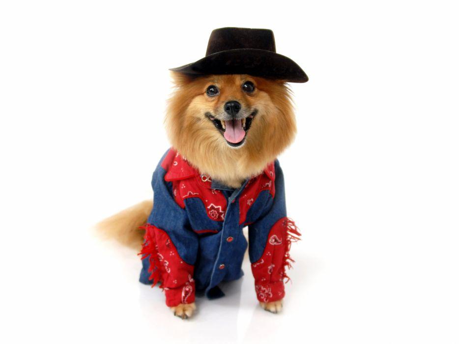 Dogs Spitz Cowboy Uniform Hat Animals wallpaper