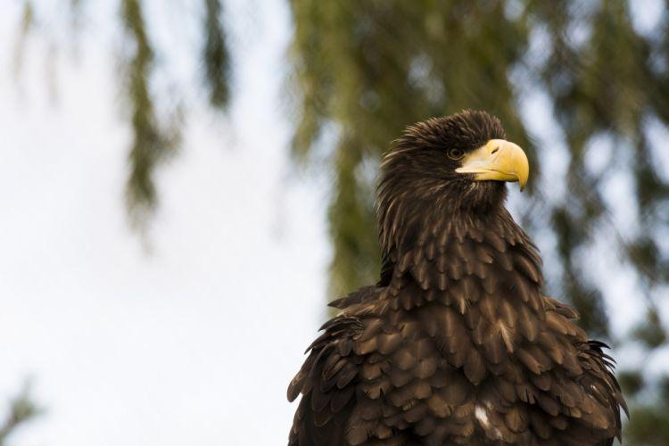 eagle bird predator beak feathers wallpaper