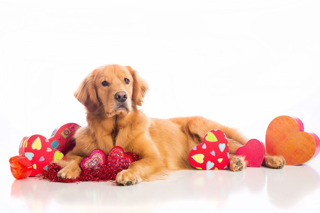 Dogs Valentine's Day Retriever Heart Glance Animals wallpaper