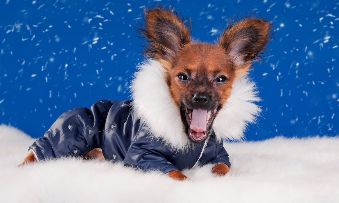 Dogs Winter Chihuahua Uniform Animals wallpaper