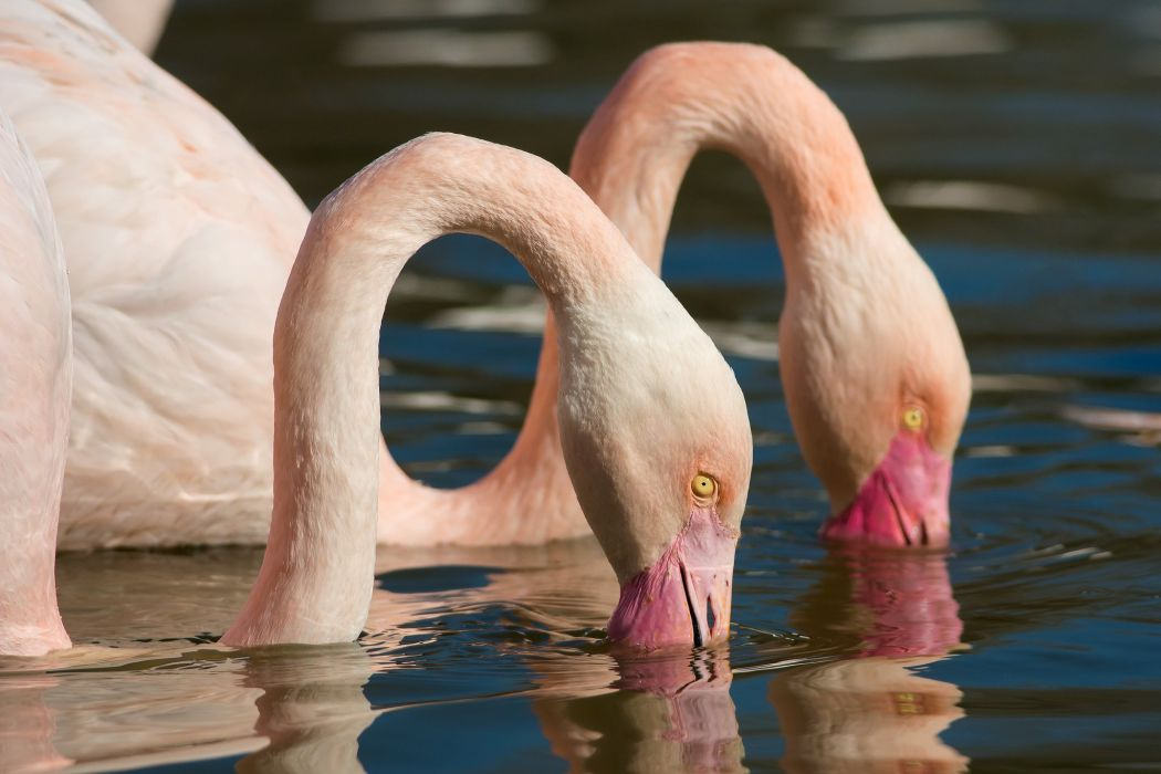 Flamingo Water Two Animals wallpaper