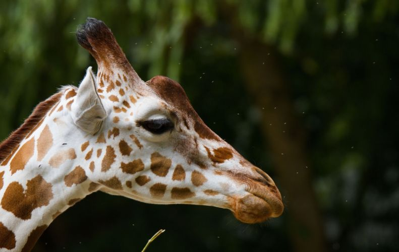 giraffe face profile spots wallpaper