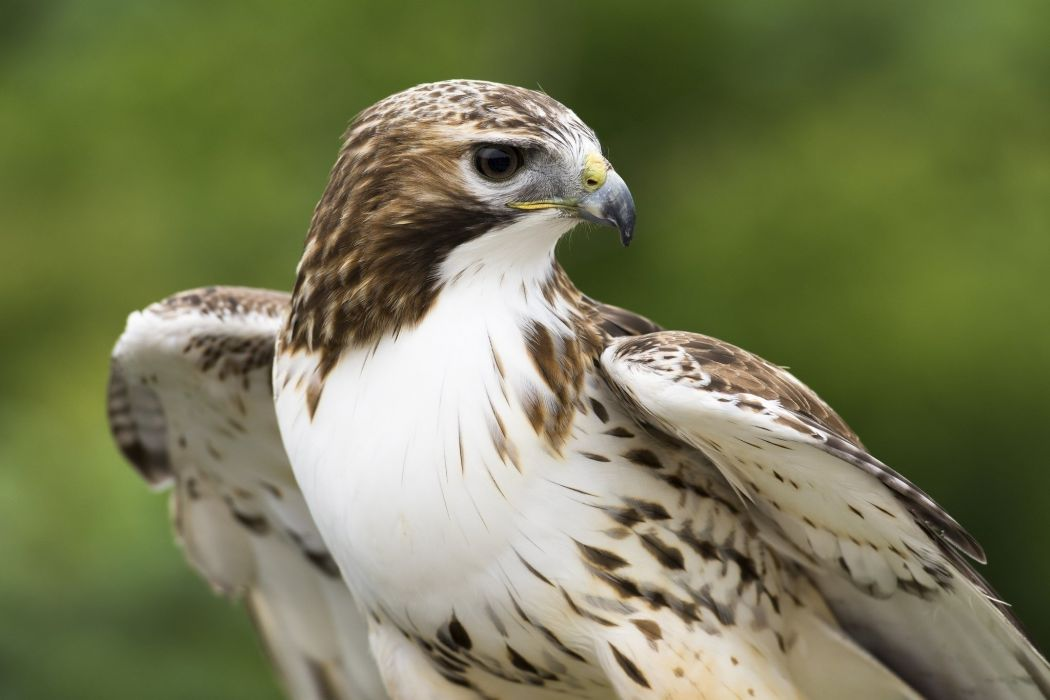 hawk predator beak feathers wallpaper