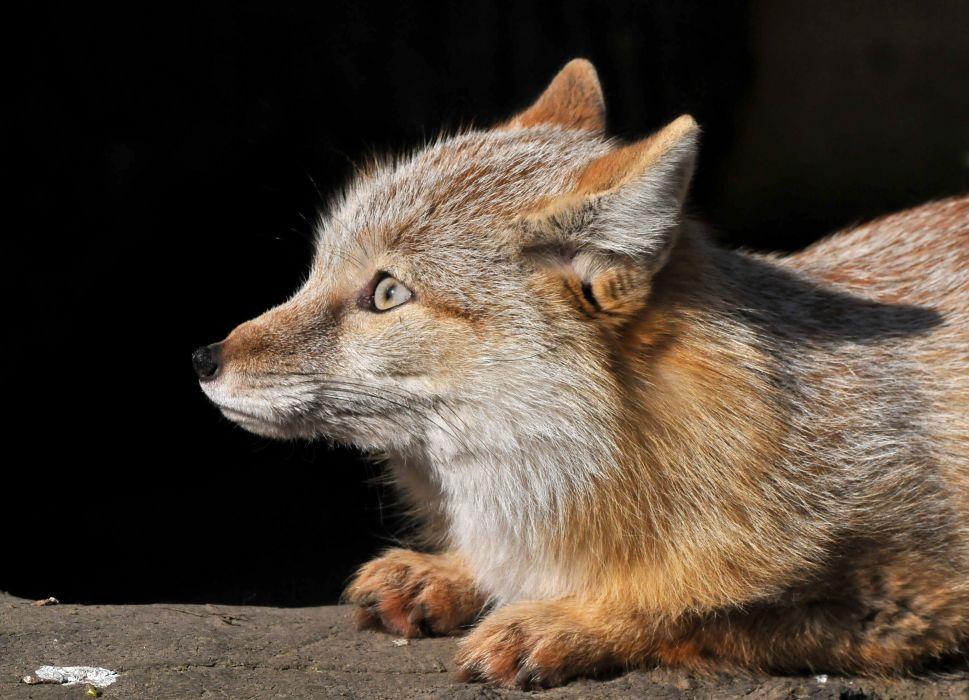 Foxes Glance Animals Fox wallpaper