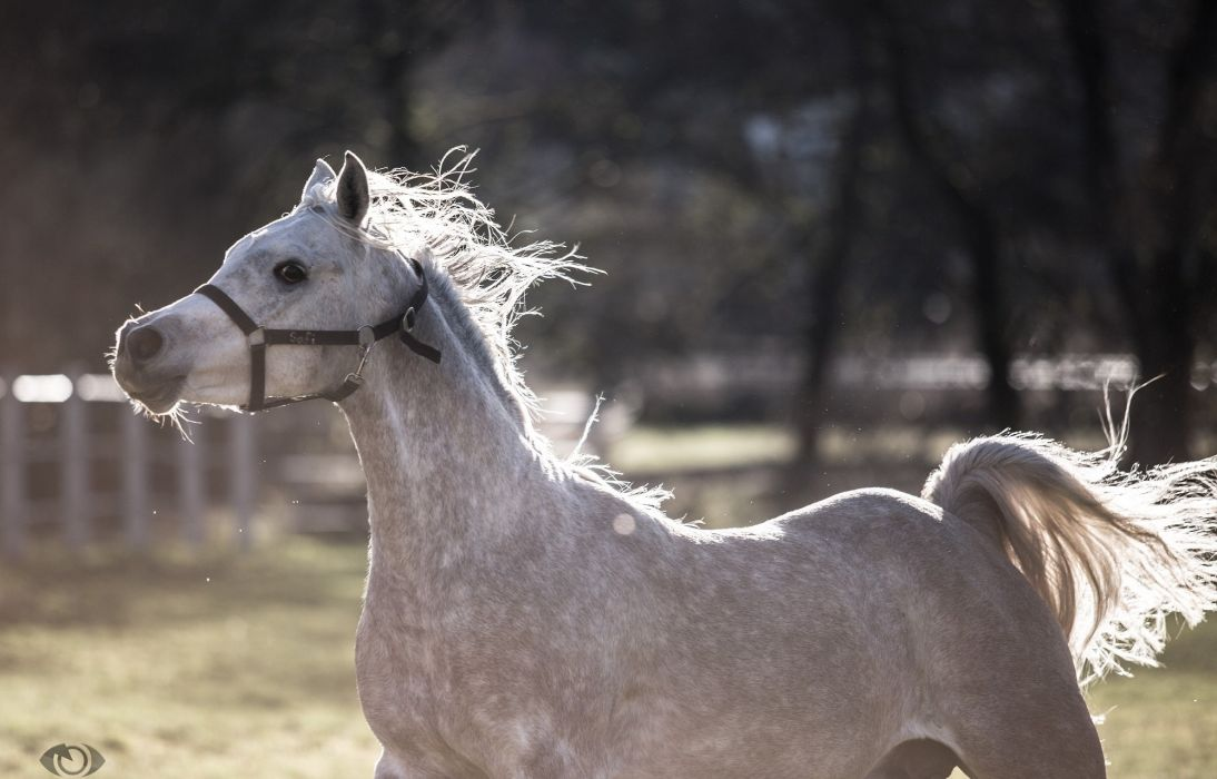 horse gray mane tail movement running playing  wallpaper