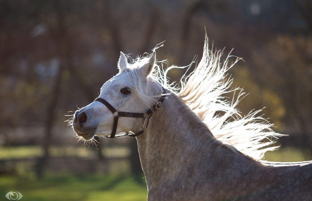 horse gray muzzle mane wallpaper
