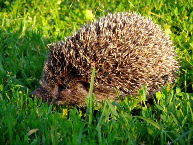 hedgehog morning wallpaper