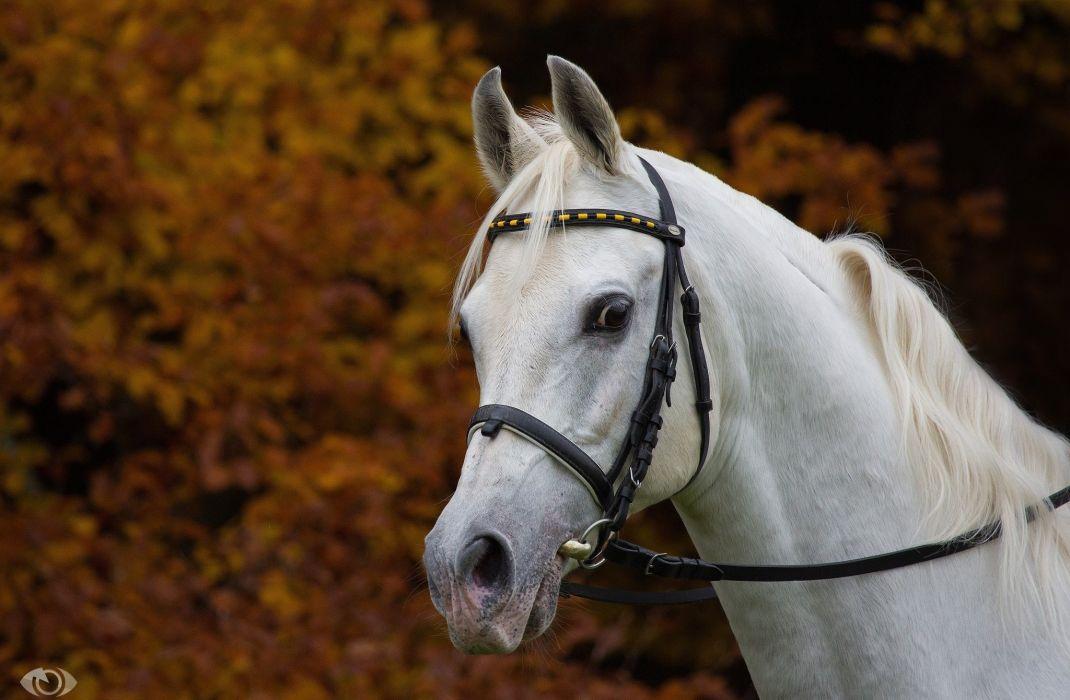 horse white muzzle mane bridle handsome autumn wallpaper