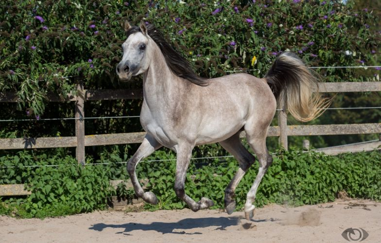 horse horse gray tail mane running gallop motion paddock wallpaper