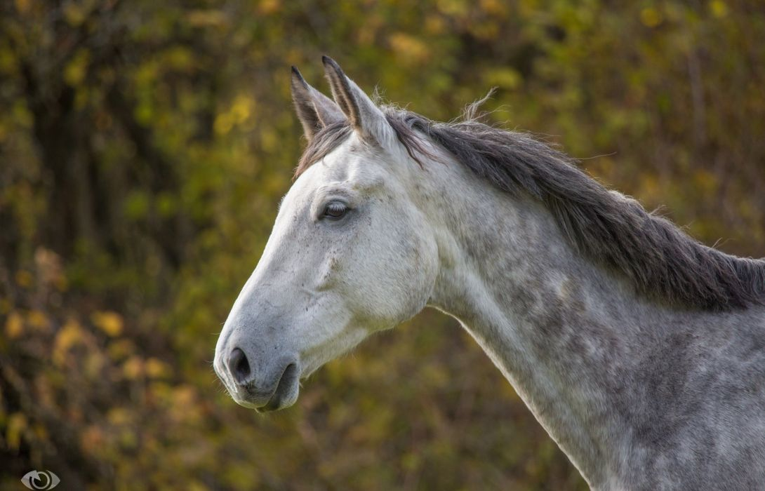 horse horse gray muzzle mane profile wallpaper