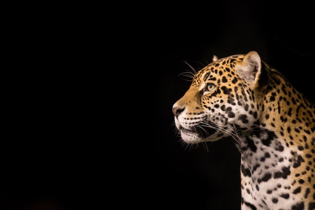 jaguar wild cat predator face profile  wallpaper