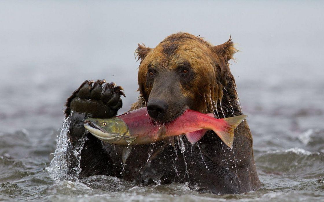 Kamchatka sockeye fish bear catch water grizzly wallpaper