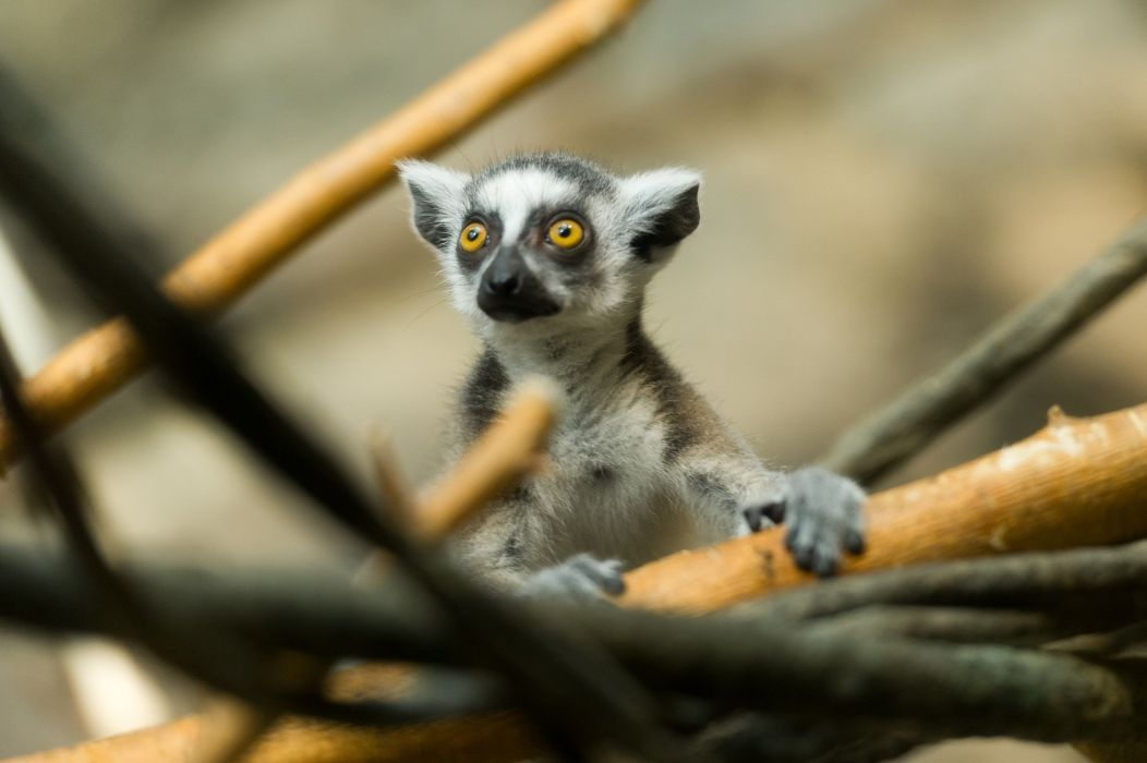 lemur muzzle eyes wallpaper