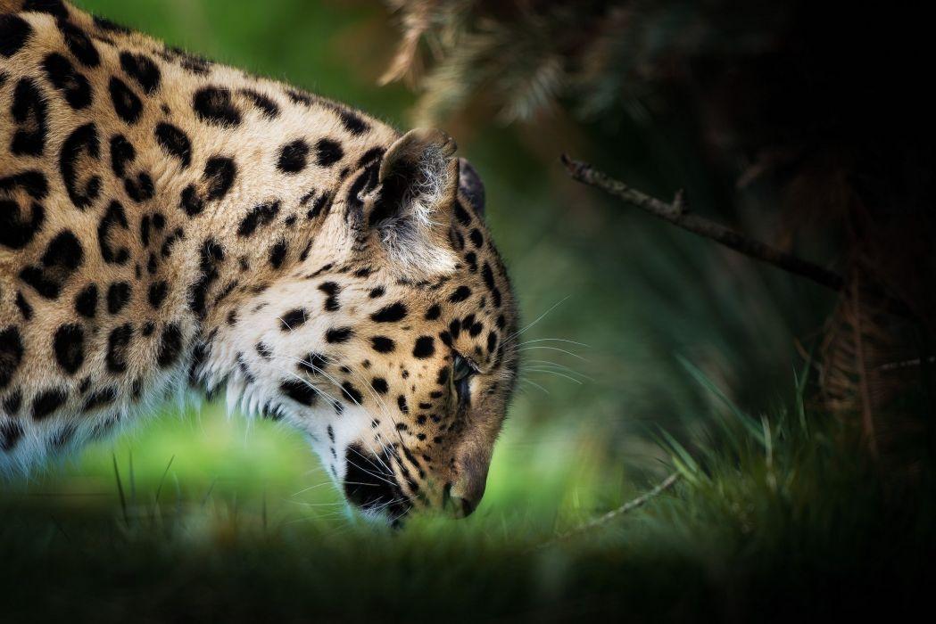Leopard Head Animals wallpaper