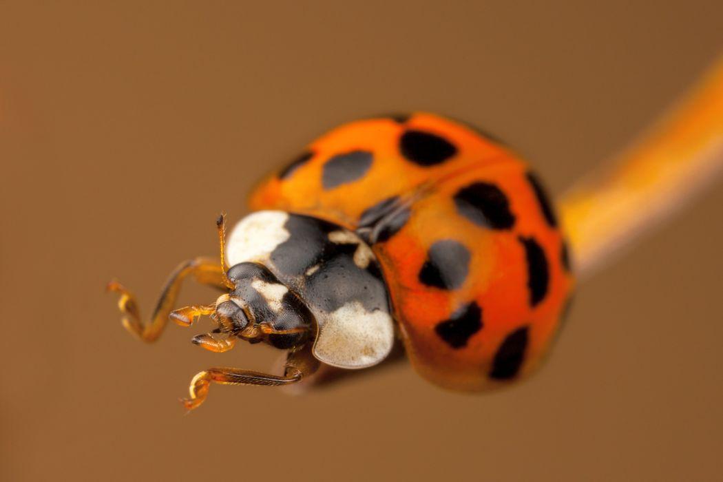 Ladybug Closeup Animals wallpaper