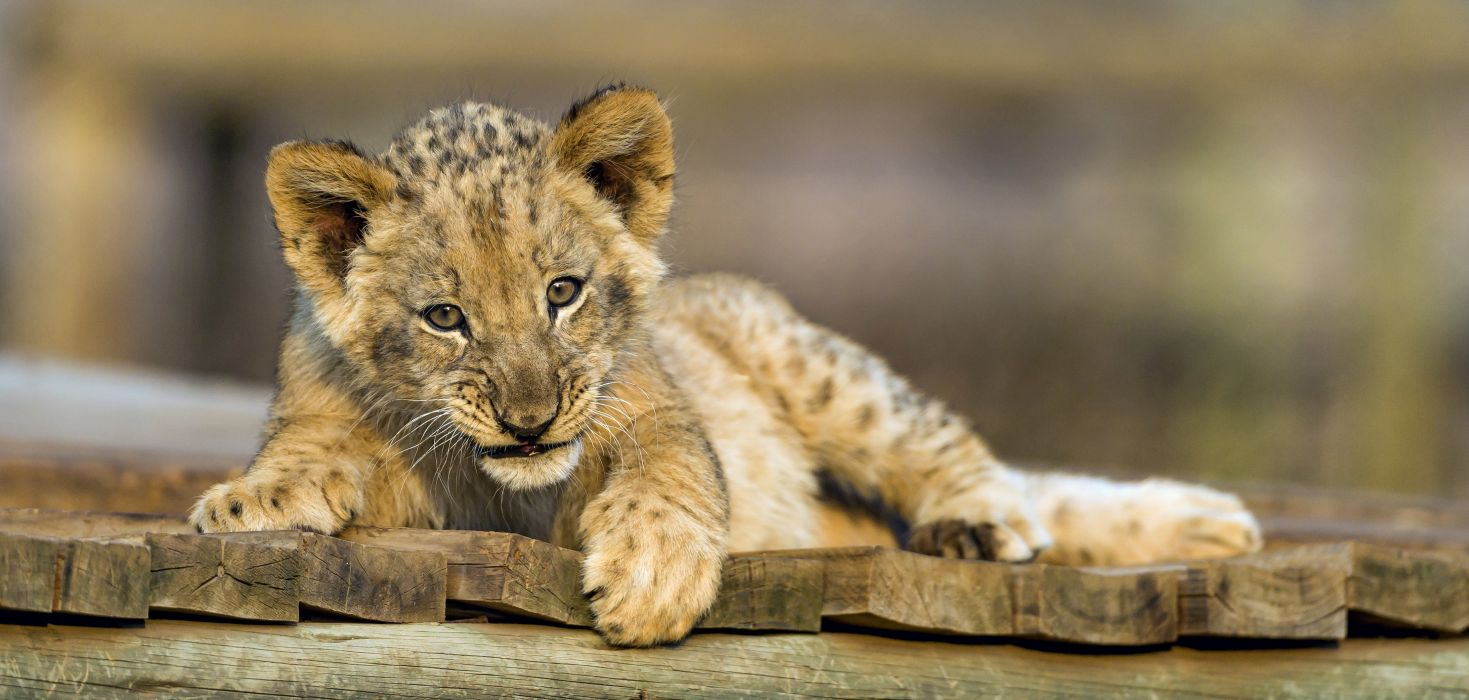 Lion Cubs Animals wallpaper wallpaper