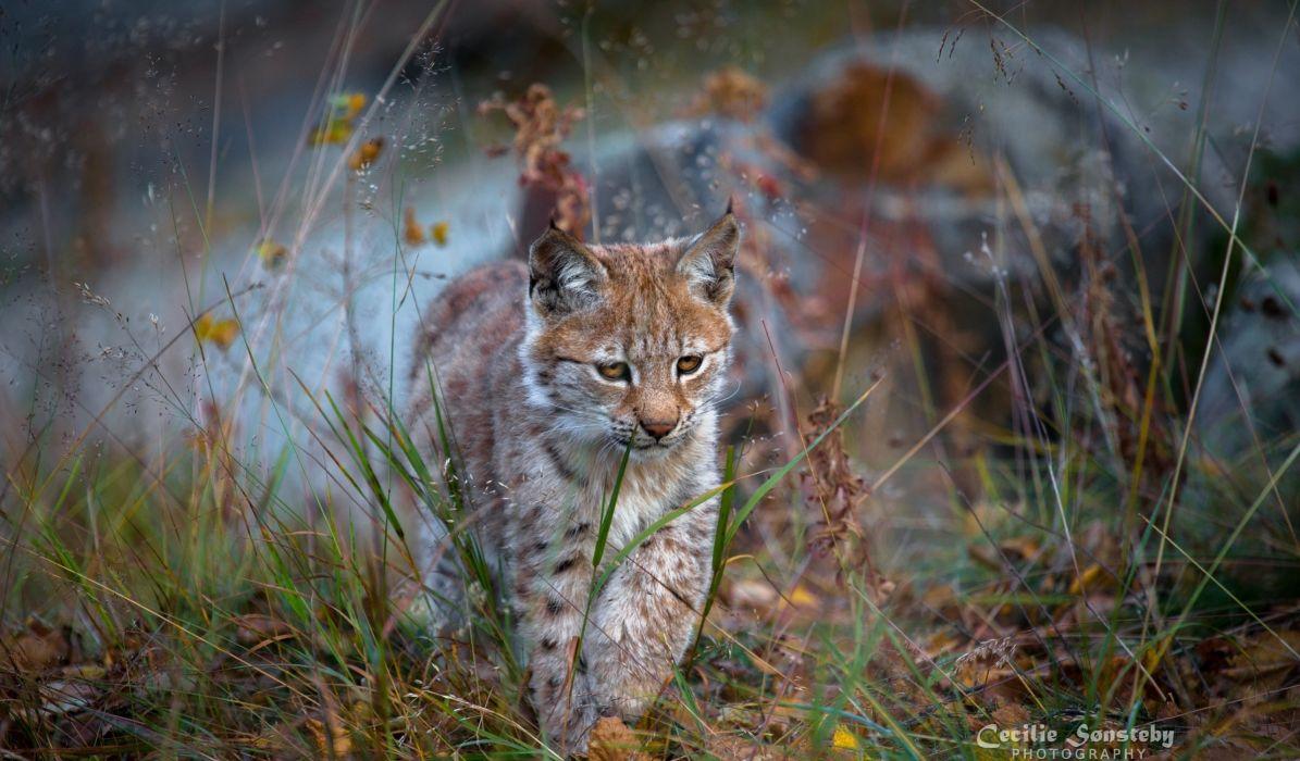 lynx wild cat predator cub walking wallpaper