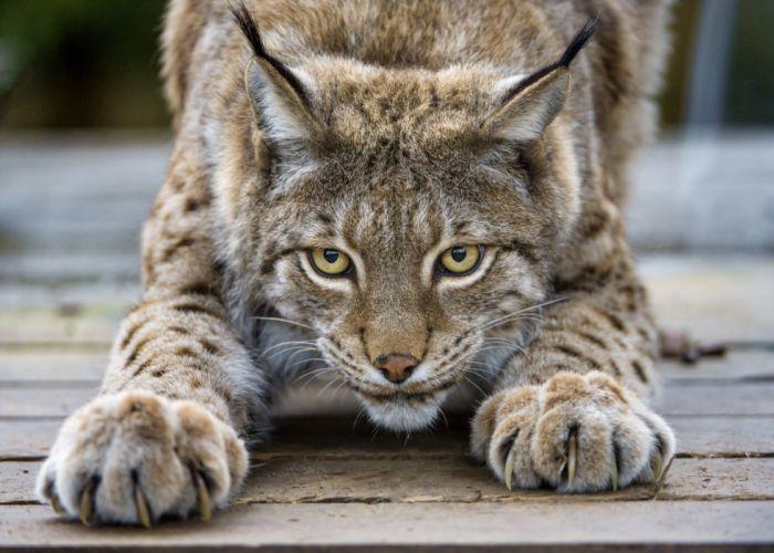Lynx cat eyes claws wallpaper