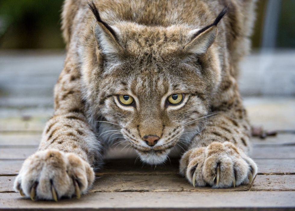Lynx cat eyes claws wallpaper