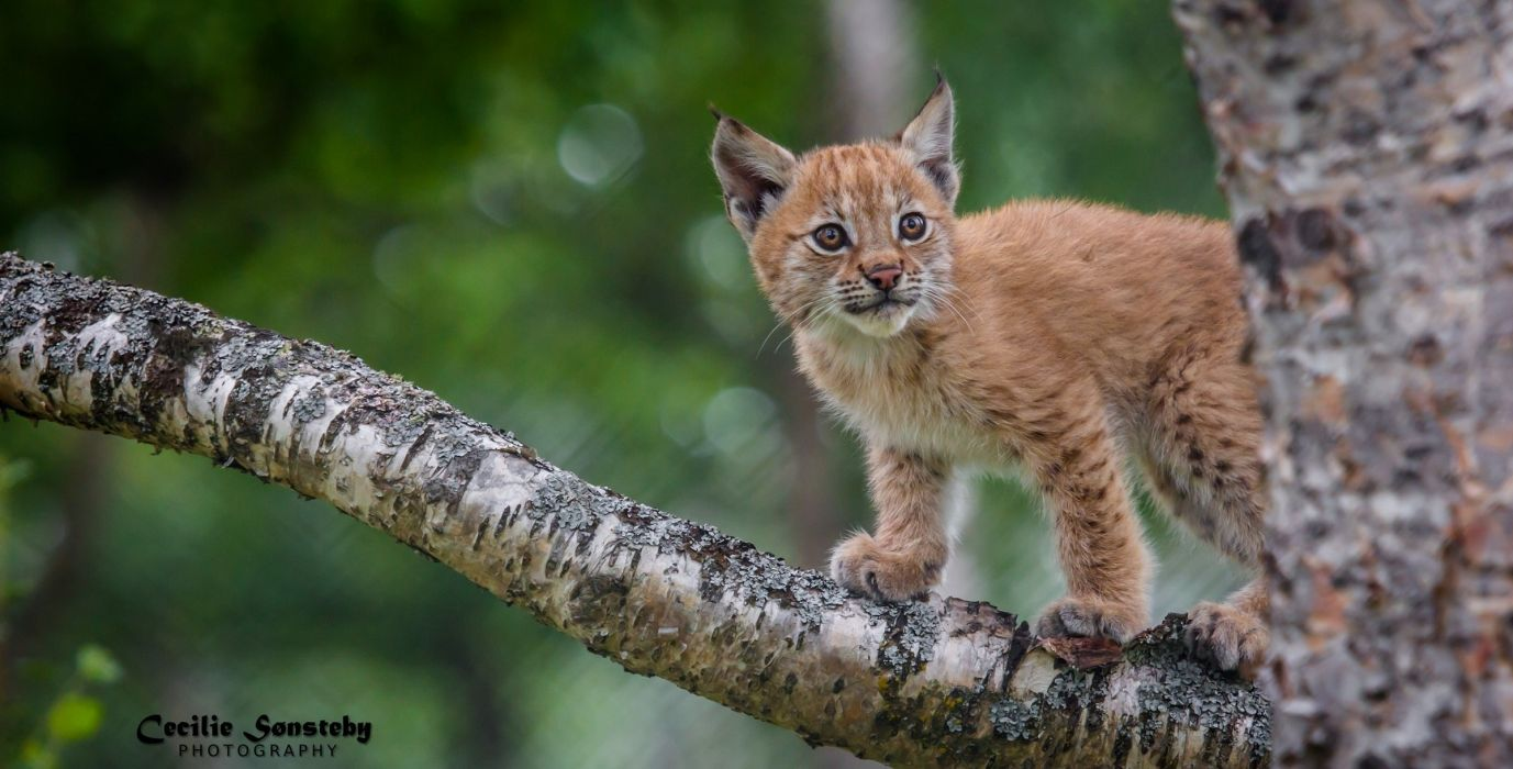 lynx wild cat predator cub wallpaper