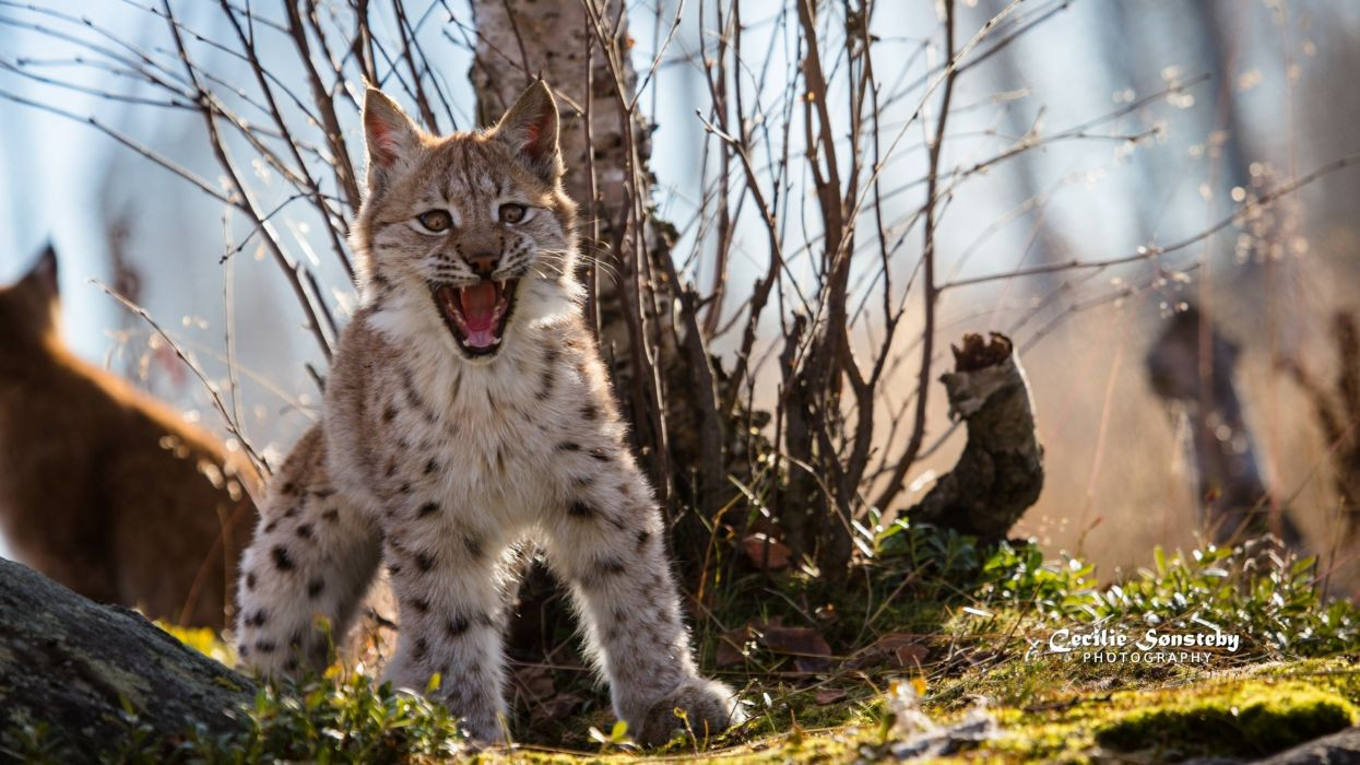 lynx wild cat predator wallpaper