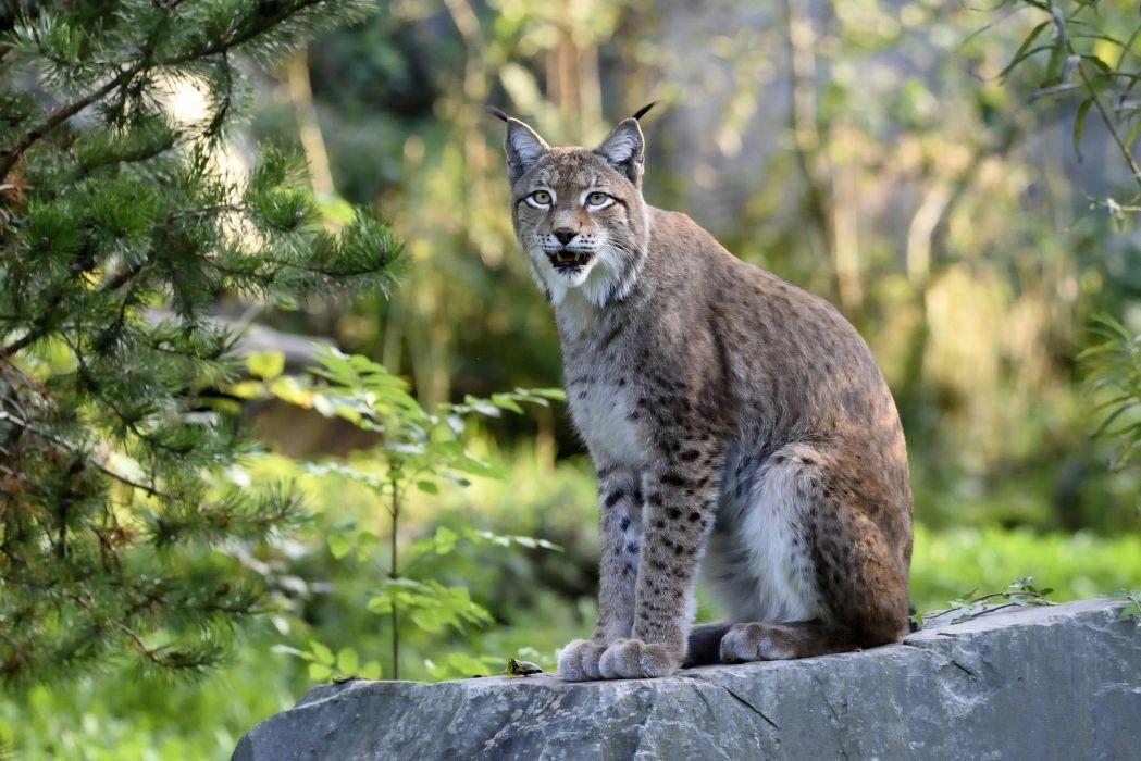 Lynx Animals wallpapers wallpaper