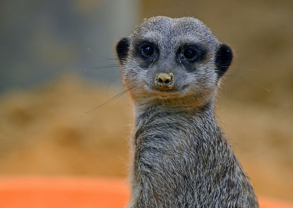 Meerkat Closeup Animals wallpaper