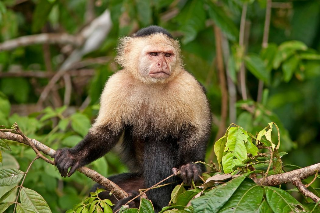 Monkey Glance Animals wallpaper