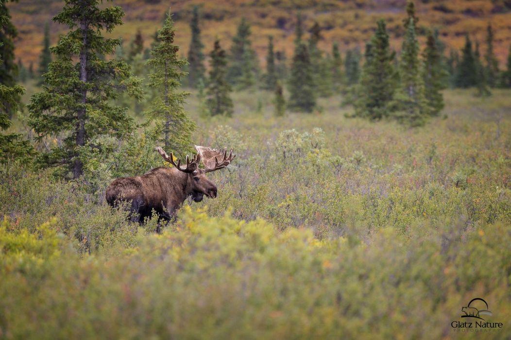 moose deer elk s wallpaper