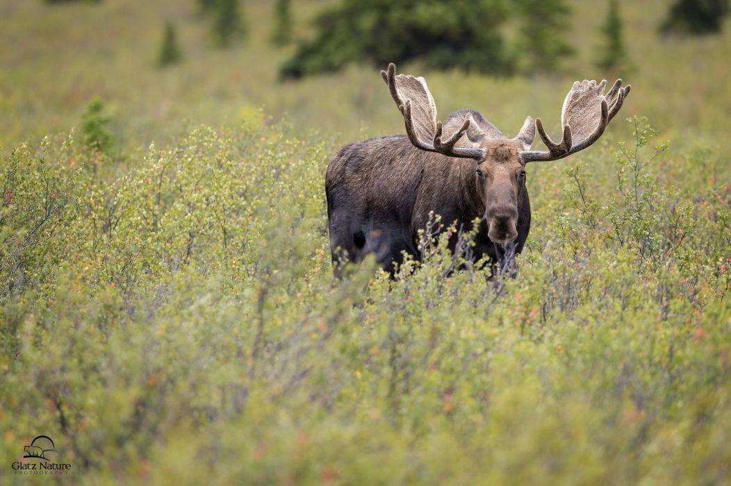 moose deer elk j wallpaper
