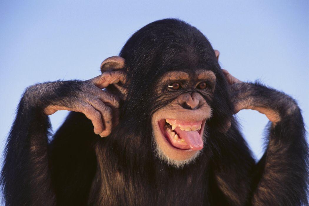 Monkey Snout Animals wallpaper