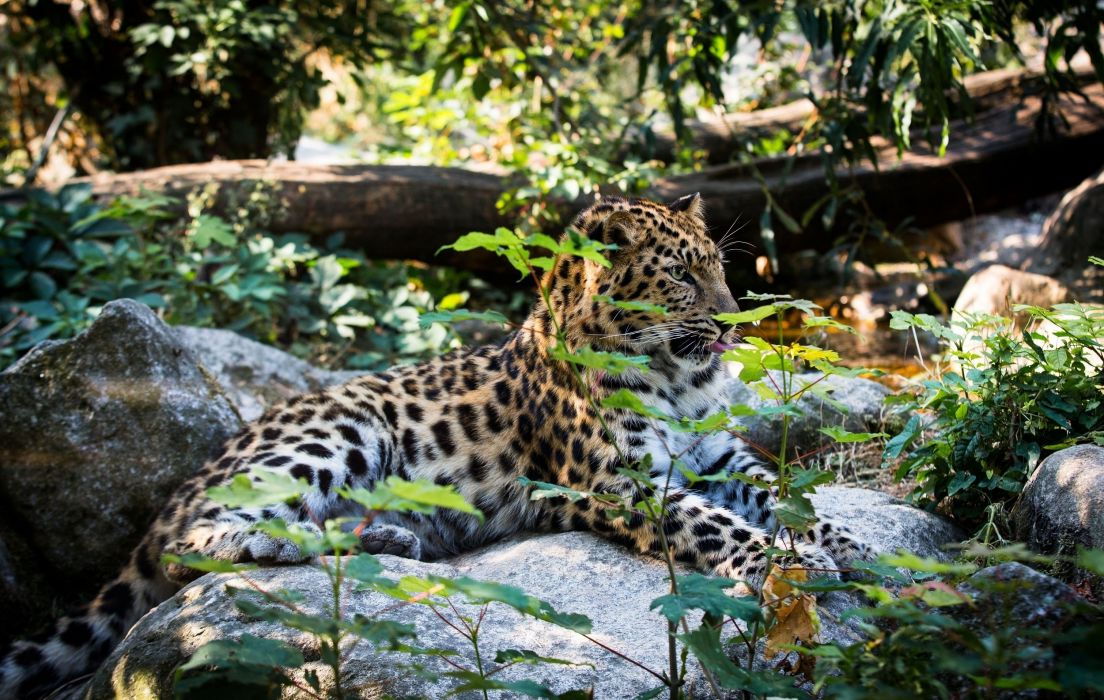 Amur leopard leopard wild cat predator lying rest thickets wallpaper