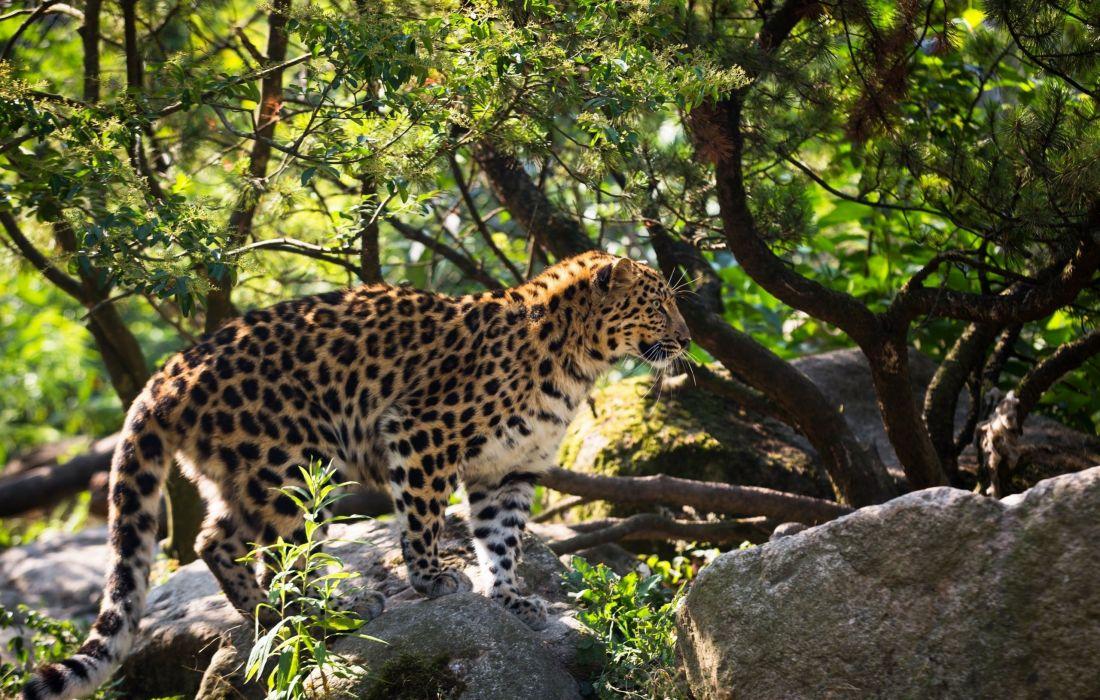 Amur leopard leopard wild cat predator profile spots fur wallpaper