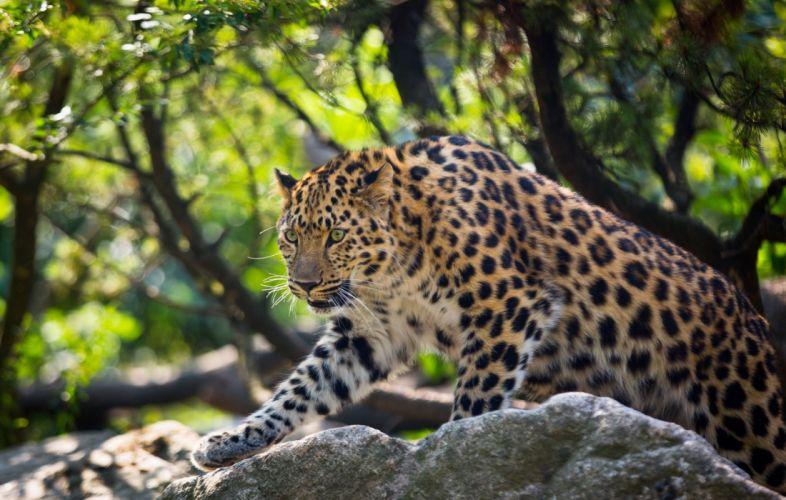 Amur leopard leopard wild cat predator wallpaper