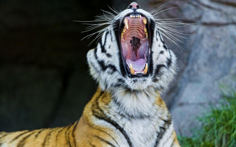 Amur tiger wild cat fangs face yawning maw wallpaper