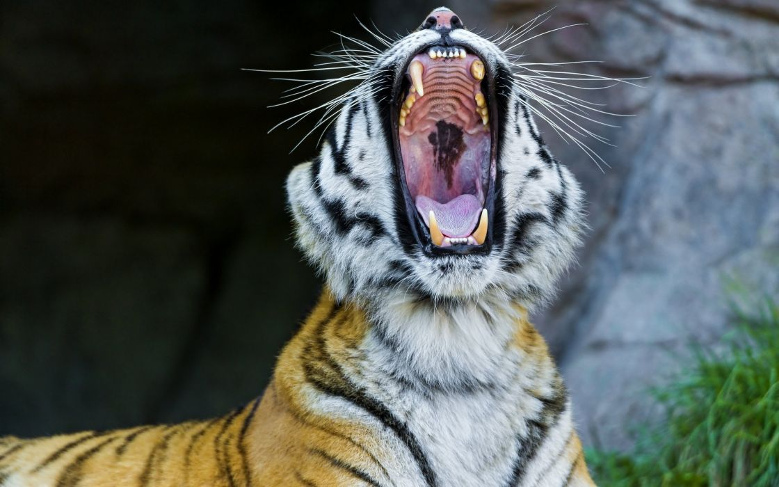 Amur tiger wild cat fangs face yawning maw wallpaper
