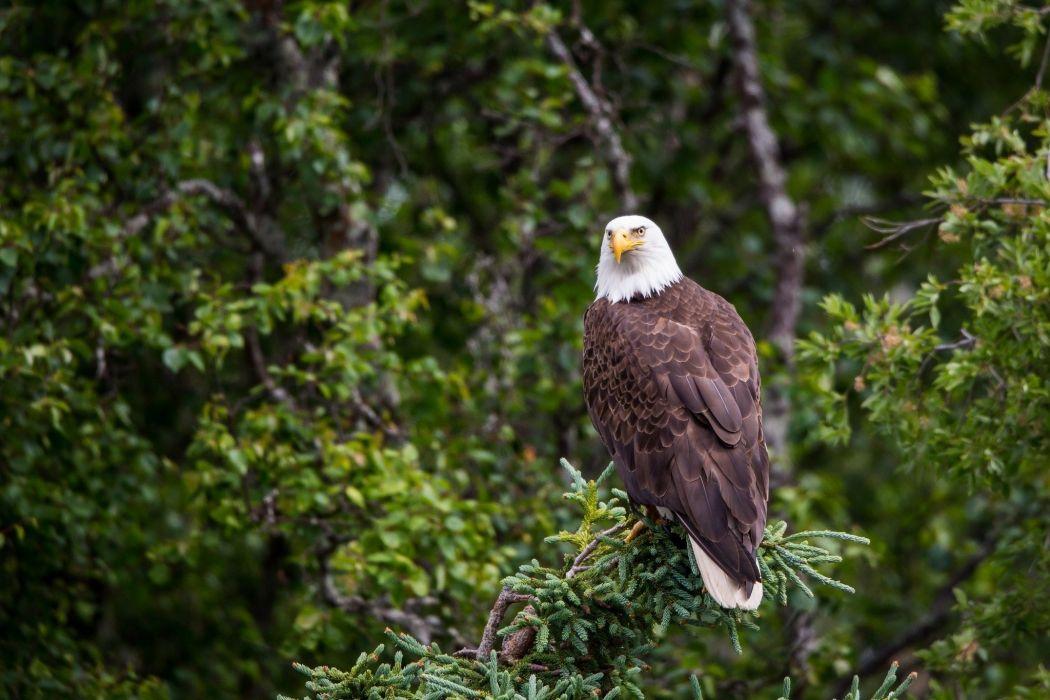 bald eagle predator  wallpaper