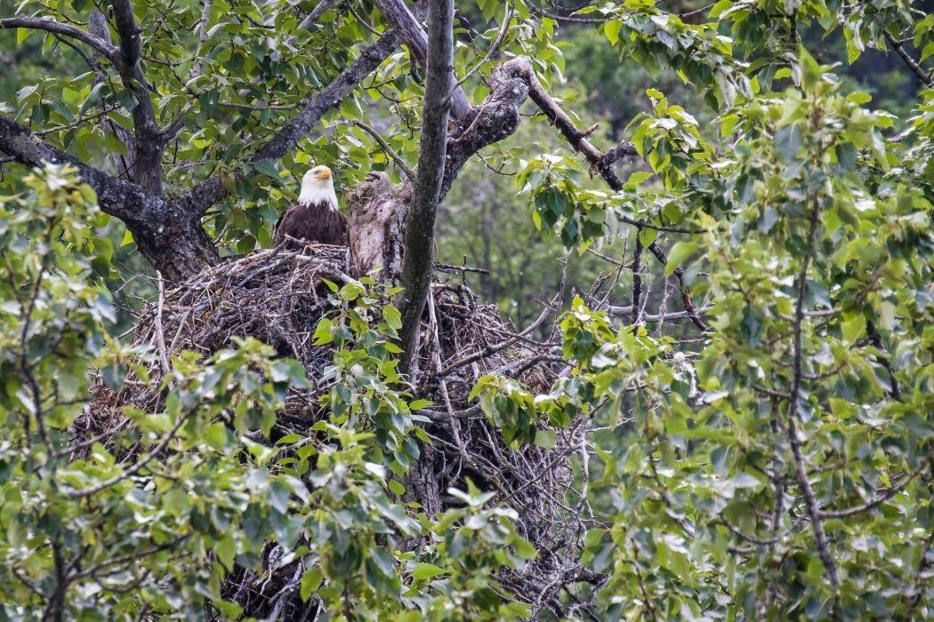 bald eagle predator on the tree nest wallpaper