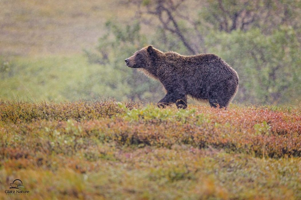 bear grizzly bear autumn wallpaper