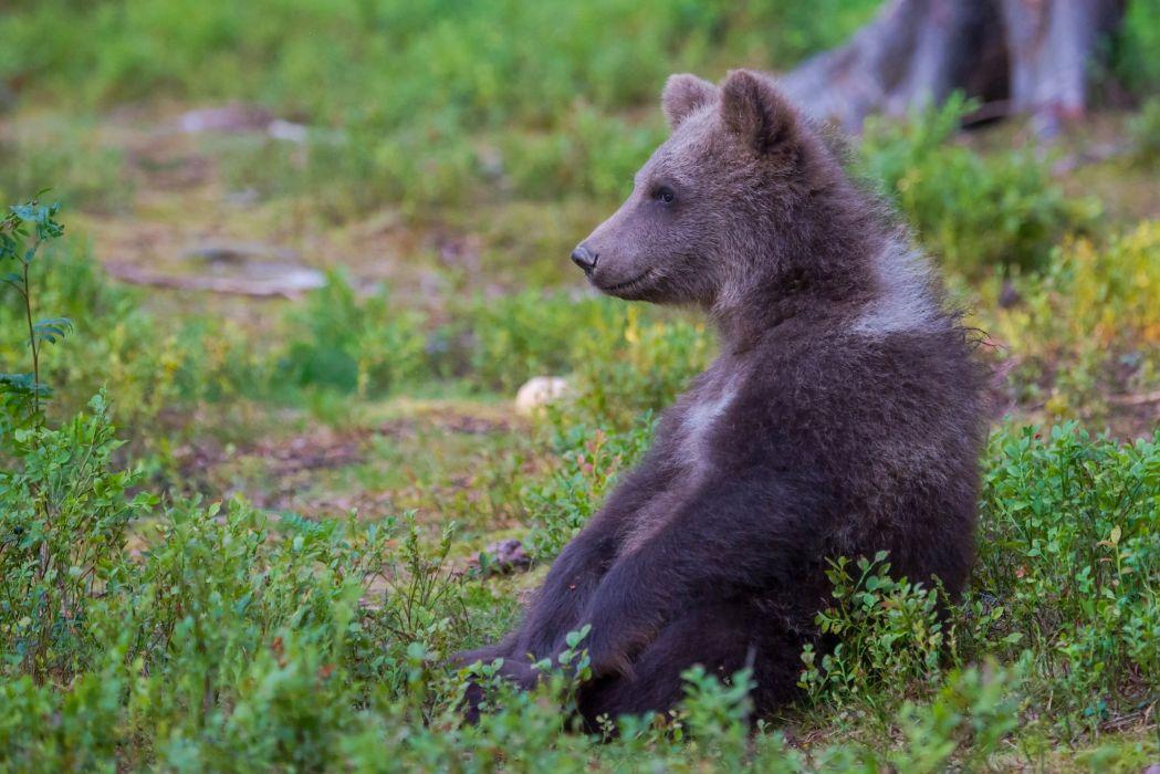 Bear Brown Bears Animals wallpaper