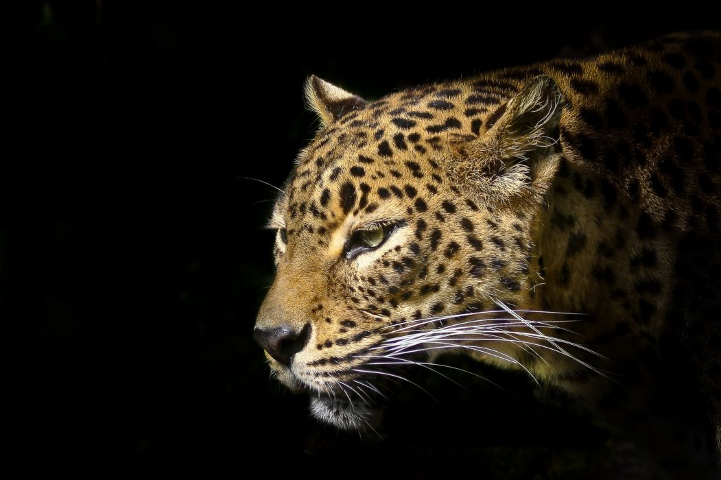Big cats Leopard Snout Animals wallpaper