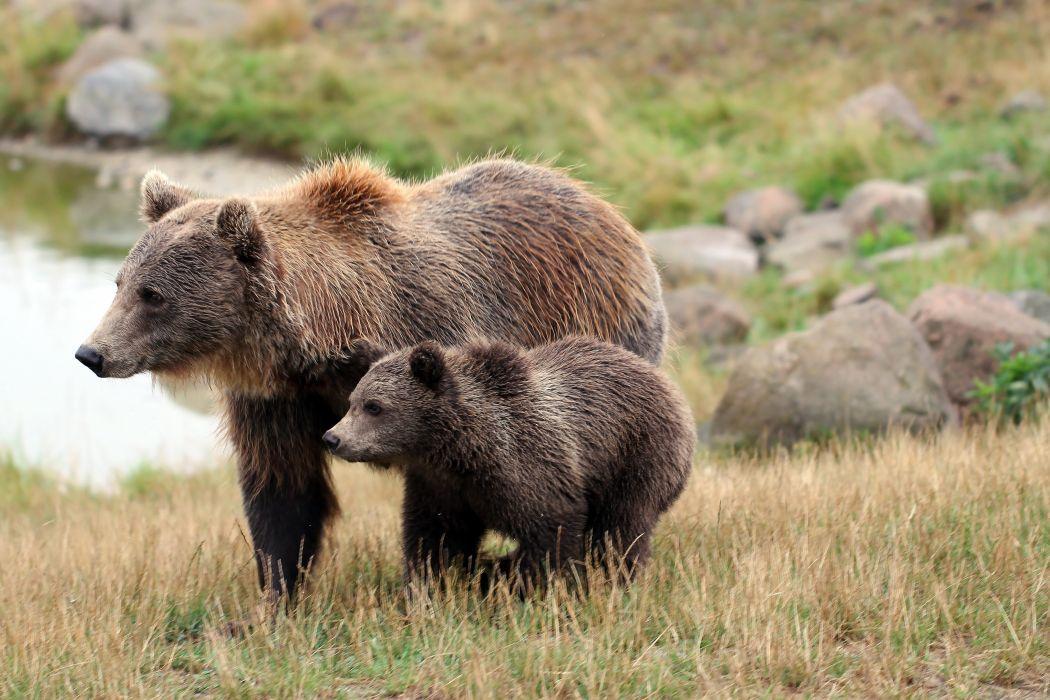 Bears Brown Bear Cubs Two Grass Animals wallpaper